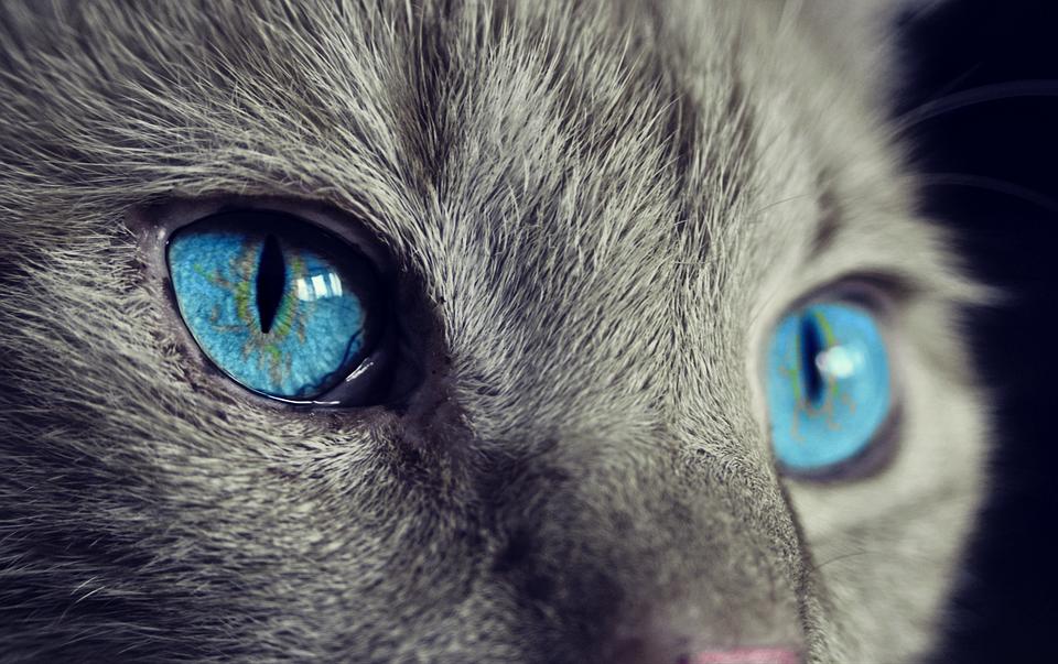 Le Razze Di Gatti Più Amate Classifica