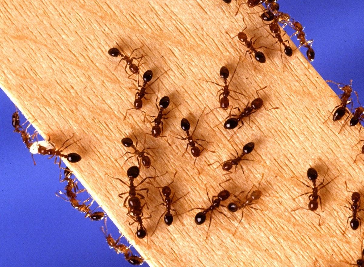 formiche